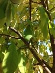 Paw Paw Tree in Fall